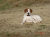Treeing Walker Coonhound, 3yrs, brown&white