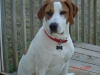 Treeing Walker Coonhound, 3yrs, brown& white