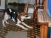 Treeing Walker Coonhound, 6 mos, Tri color black,white, and tan
