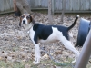 Treeing Walker Coonhound, 4 yrs, Tri