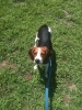 Treeing Walker Coonhound, 1, Black and Tan
