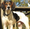 Treeing Walker Coonhound, 10 Mo., Tri-Color