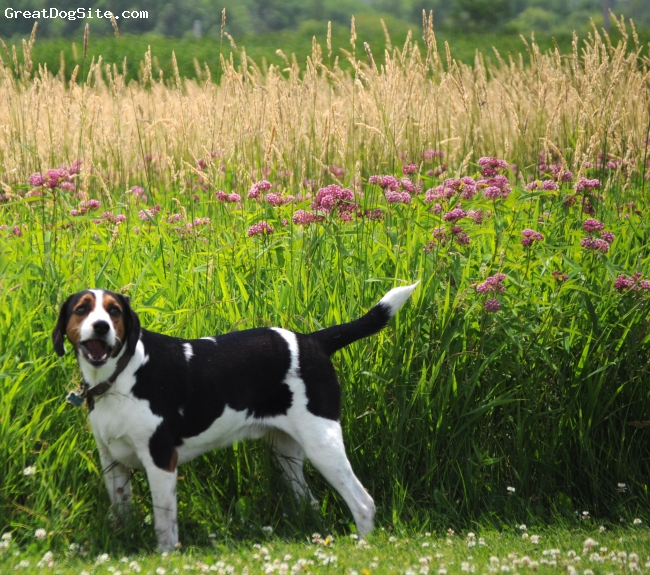 Treeing Walker Coonhound, 2, Tri, Big Sweetheart; rescue from Kentucky puppy mill.