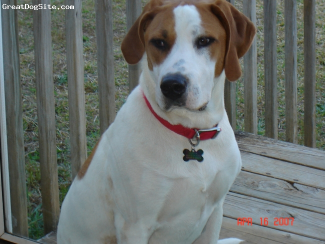 Treeing Walker Coonhound, 3yrs, brown& white, loves to pose