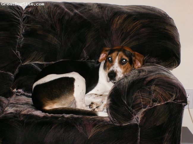 Treeing Walker Coonhound, 4 yrs, Tri, Being a couch potato after a long day of playing.