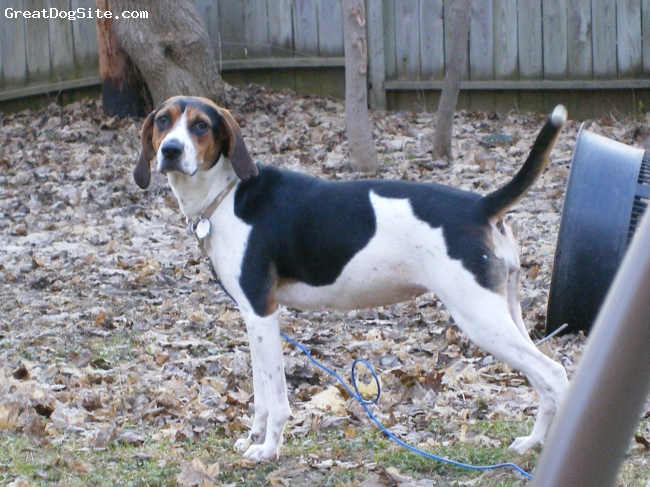 Treeing Walker Coonhound, 4 yrs, Tri, Kiska at about a year old... Hadnt quite filled out yet but already a beautiful girl.