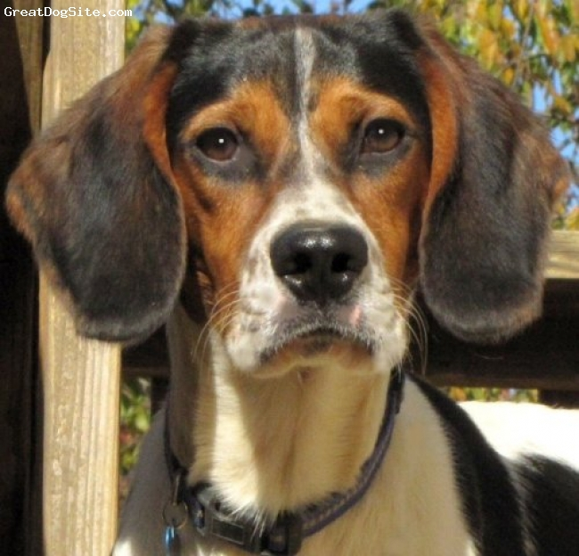 Treeing Walker Coonhound, 10 Mo., Tri-Color, Humphrey is a rescue from TN and appears to be a Walker Coon Hound and a Blue Tick Hound Mix (Part Beagle?)