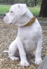 Valley Bulldog, 11 weeks, White