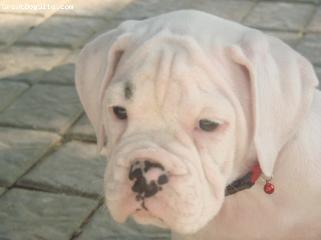Valley Bulldog, 12 weeks, white with black spots, This is my new valley bulldog,Her name is marshmellow and she is very smart,She is fully potty trained at 12 weeks ...She has been a real treat.