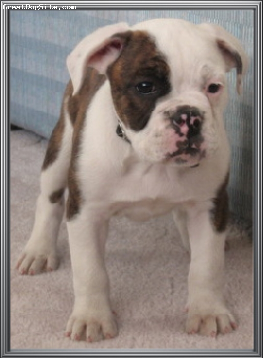 Valley Bulldog, 3.5 months, Brindle and White, This is Honor, she is a Multigenerational Valley Bulldog from Nova Scotia and is now a part of our Program! She has the sweetest personality!