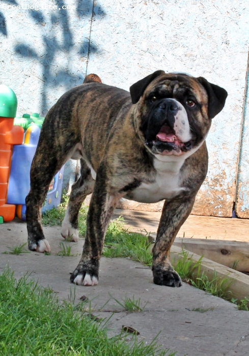 Valley Bulldog, 2 years, Brindle and White, Ben is a beautiful dog he is a multi generation valley bulldog he is a big cuddle bug and my personal foot warmer. Ben has never met a dog or person he dose not like. Ben is a social butterfly and a joy to own.