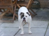 Victorian Bulldog, 18months, white and brindle