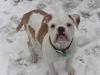 Victorian Bulldog, 2, white,brown