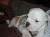 Victorian Bulldog, 8 weeks, brown,white