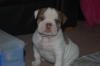 Victorian Bulldog, 6 weeks, white with brown spots