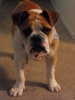 Victorian Bulldog, 6 months, white and red