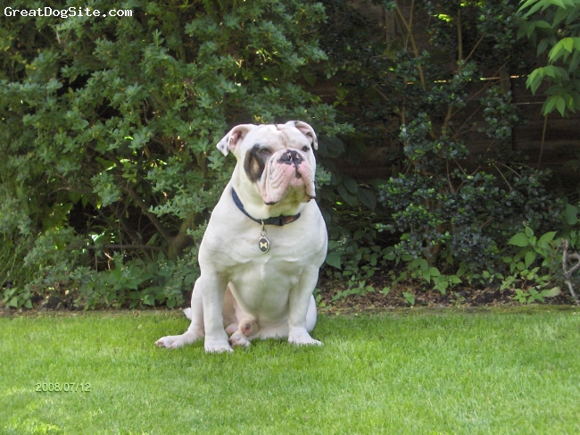 Victorian Bulldog, 19 months, White, A Lovely boy! With a superb nature, very frendly and gets on with other dogs and people.