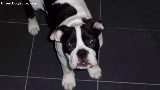 Victorian Bulldog, 7 months, black and white, Waiting for food!
