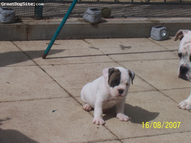Victorian Bulldog, 18months, white and brindle, 'ickle pup