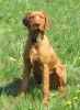 Vizsla, 2 years old, russet gold