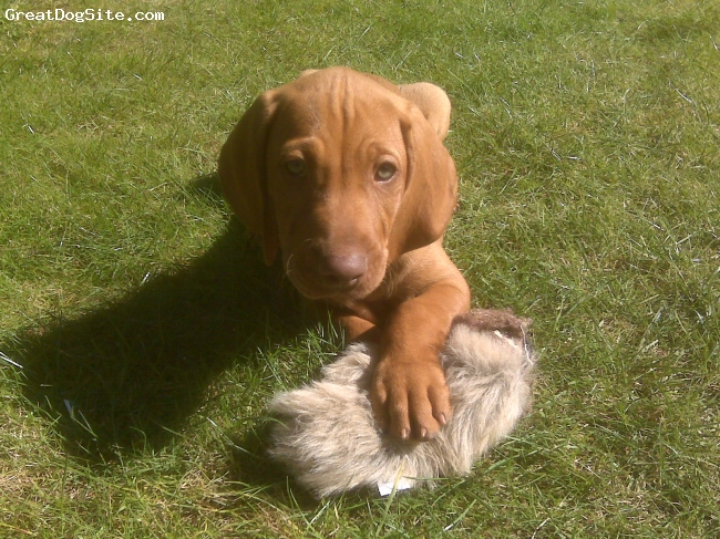Vizsla, 8 weeks, Ruset Gold, puppy with his catch