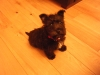 Wauzer, Young puppy, Black
