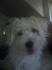 Wee-Chon, 7 months, White