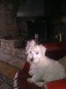 Wee-Chon, approx 5mths, white