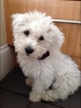 Wee-Chon, 3 months, White