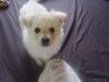 Weeranian, 13 weeks, white/blonde