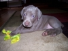 Weimaraner, 6 Weeks, Grey