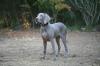 Weimaraner, 6 months, Gray