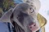 Weimaraner, 4 months, she is silver