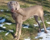 Weimaraner, 7 weeks and 8 months, grey