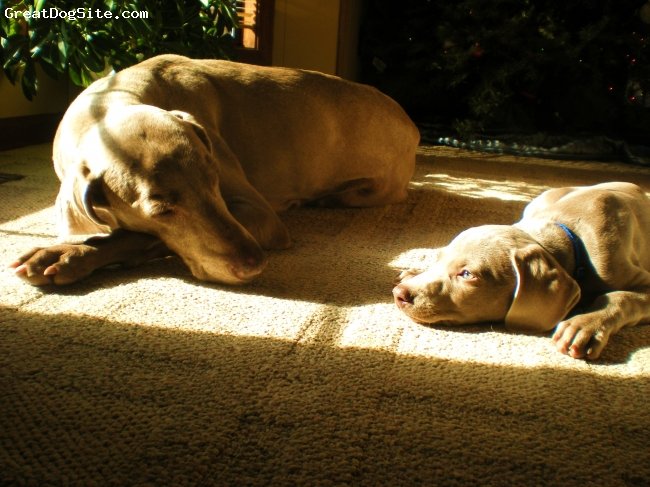 Weimaraner, 12 yrs & 3 months, grey, our oldest weim & our newest addition