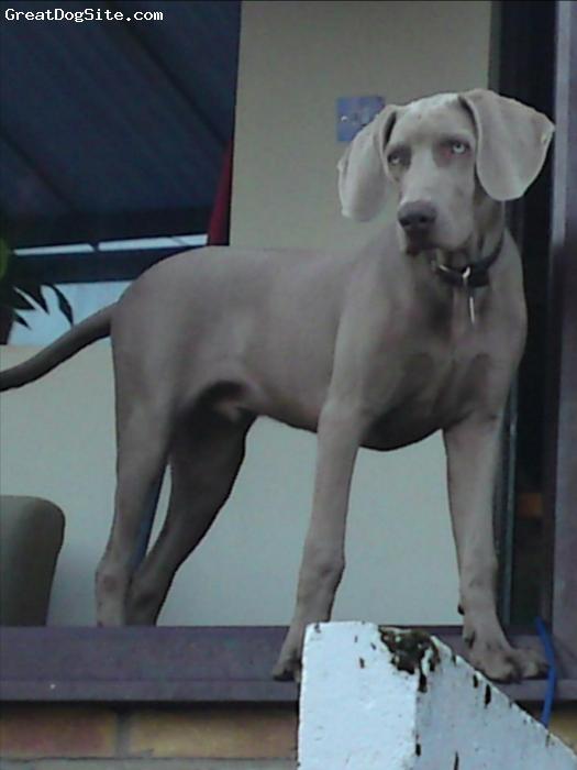 Weimaraner, 6 months, silver gray, harley is mental!