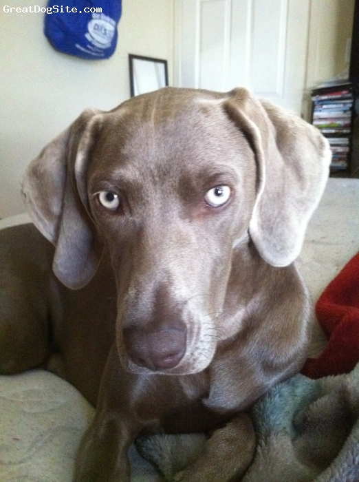 Weimaraner, 1 year, gray, Best companion any one can ask for