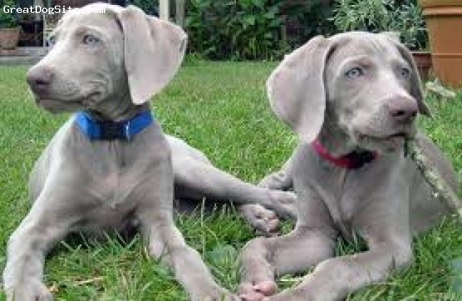 "Weimaraner, 1 1/2 years, Grey, (Left)Awesome dog! I love her soo much! she knows over 10 tricks including ""stick em up!  Dance! Crate! high five! ""And Twirl."