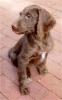 Weimardoodle, Not Specified, brown