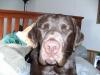 Weimardoodle, 2, brown