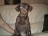 Weimardoodle, 12 weeks, brown