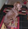 Weimardoodle, 6 months, Brown