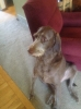 Weimardoodle, 3, brown
