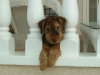 Welsh Terrier, 4 months., Black & Tan