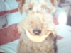Welsh Terrier, 6, black and tan