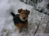 Welsh Terrier, 5 months, black & tan