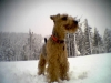 Welsh Terrier, 5, Black and Tan