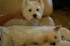 West Highland White Terrier, Rowdy 5 Macy 2 1/2 months, White
