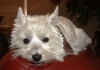 West Highland White Terrier, 4.5 years, white