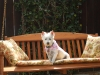 West Highland White Terrier, 7 yrs old, white